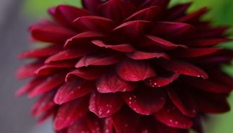 dahlia dahlias flower nature