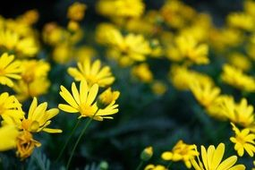 photo of blooming yellow chrysanthemums