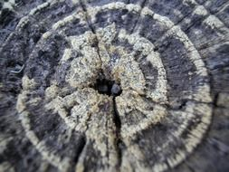 tree ring age wood trunk