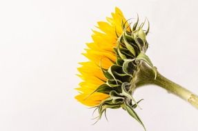 isolated side view of a sunflower