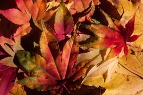 multi-colored autumn maple leaves