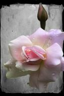 tender pink rose flower