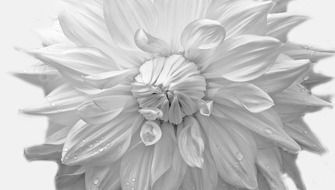 black and white picture of a flower