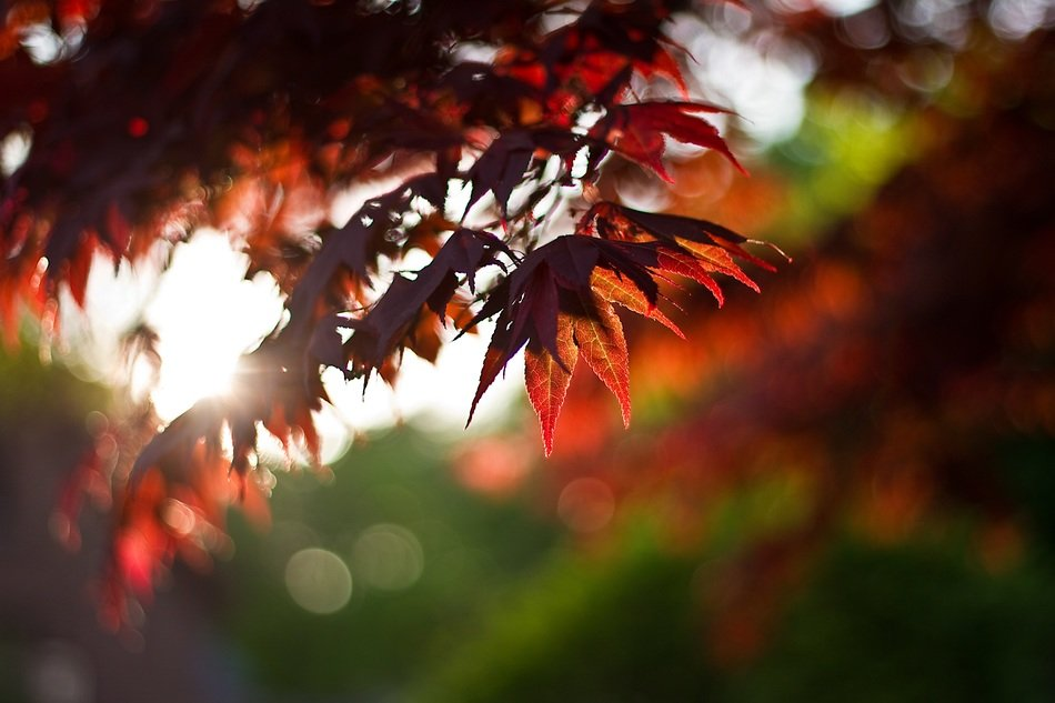 maple leaves foliage red autumn