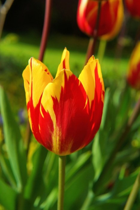 red yellow blossom tulip wallpaper