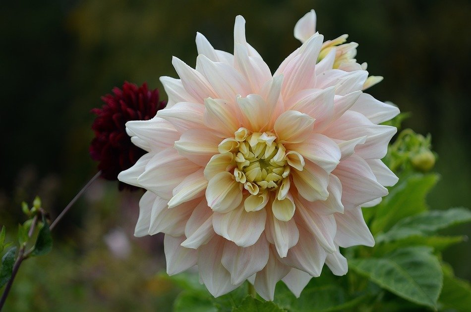 beautiful dahlia flower nature wallpaper