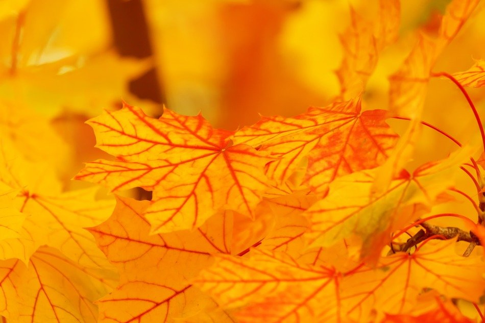 autumn orange leaves background