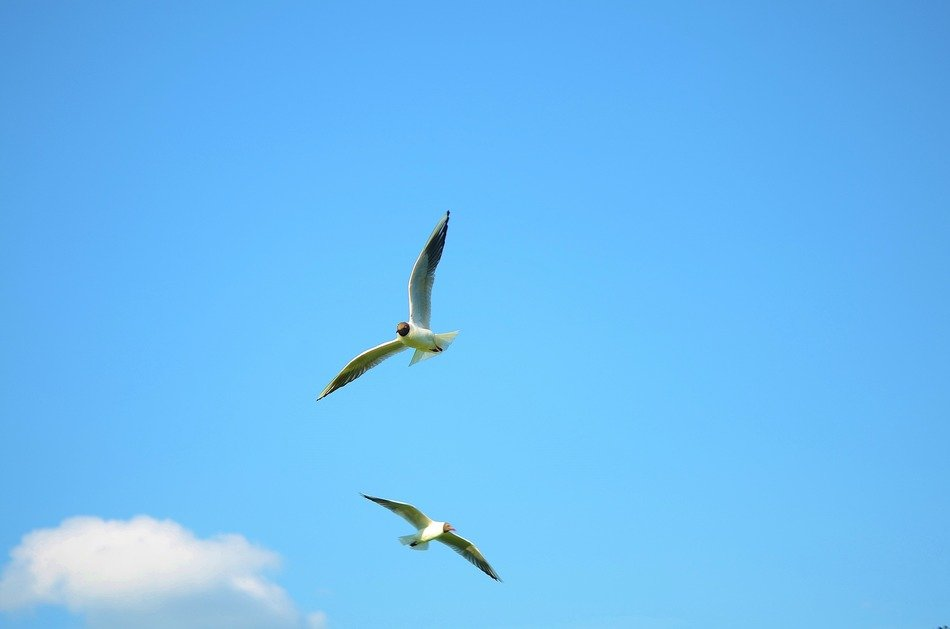 two seagull bird flying in the sky