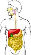 Digestive System Diagram as a graphic illustration