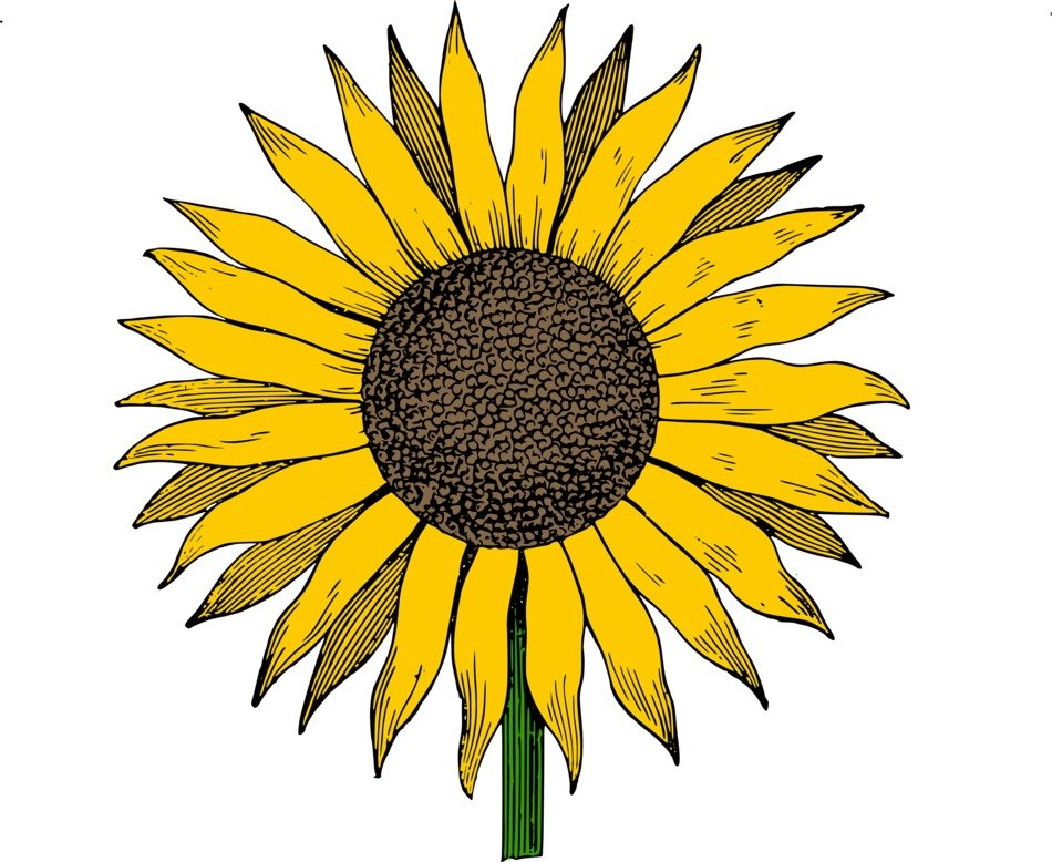 photograph relating to Printable Sunflower named Totally free Printable Sunflower Clip Artwork N2 no cost picture