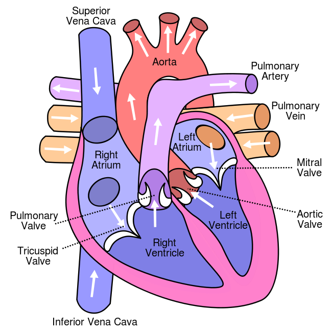 Labeled Heart Diagram Blood Flow Cool Photo Album Website With