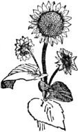 Black And White Sunflower Clip Art drawing