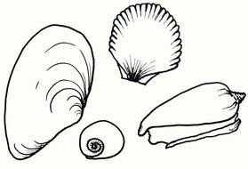 black and white drawings of sea shells of different types