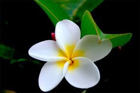 white tropical hawaiian flower