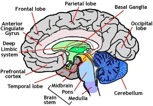 Diagram of Brain clipart