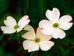 picture of the Dogwood Blossoms