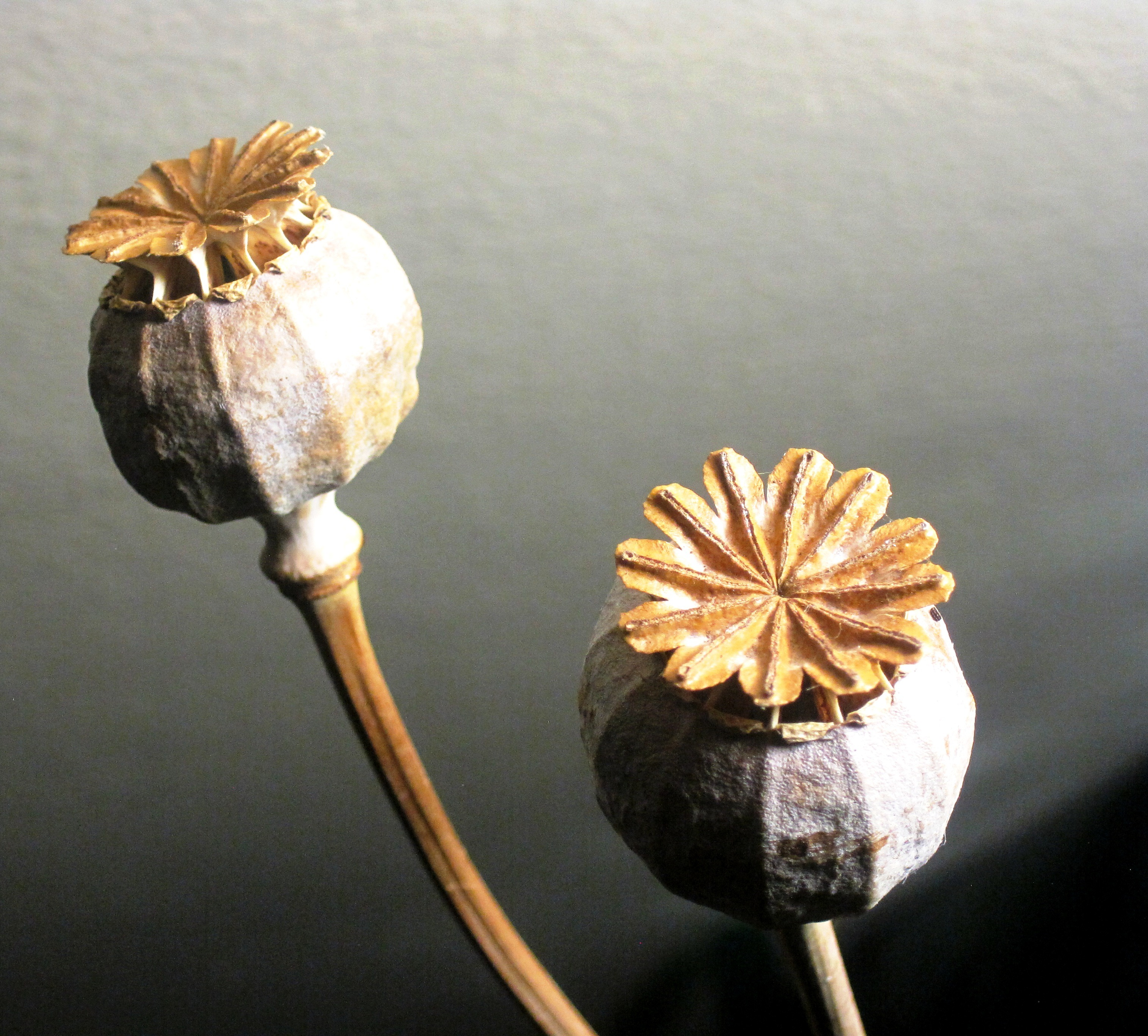 Dried Poppy Seed Pods Free Image