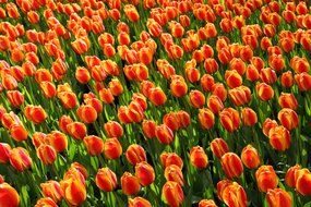 red orange tulips field