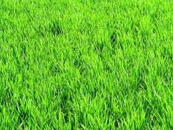 paddy fields greenery rice crops