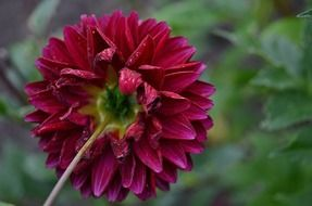 purple dahlia flower nature macro wallpaper