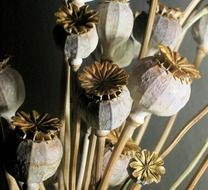 seed pods poppy dried bleached