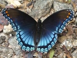 blue butterfly on grey stones