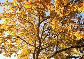 autumn golden tree leaves
