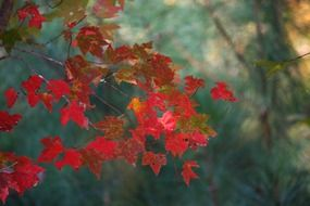 maple leaves fall autumn red tree