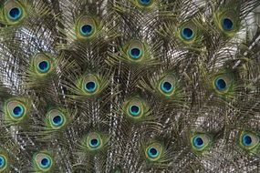 peacock feathers colorful plumage four spot pattern
