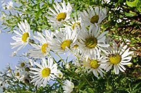 daisies in summertime