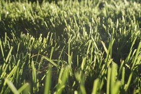 grass blades of meadow