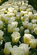 White Dutch flowers