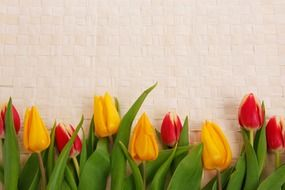 background tulips colorful
