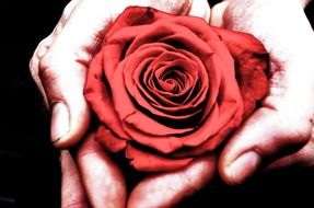 red rose in human hands