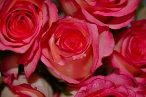 bunch of rose flowers for valentine\'s