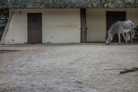 zebra stall in zoo