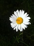 flower summer daisy yellow white
