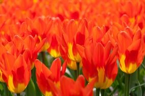 bright orange tulips in the Netherlands