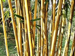 bush bamboo with green leaves