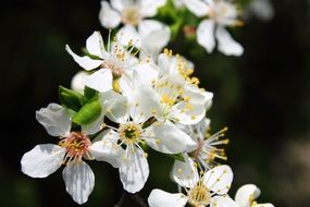 flowers and mirabelle plums spring