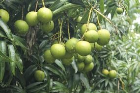 mangoes trees greenery leaves