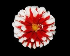 christmas flower red white nature