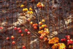 ivied wooden wall in autumn