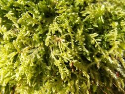 bright green moss close up