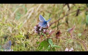 blue butterfly on the wild meadow