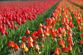 fields of red tulips holland garden