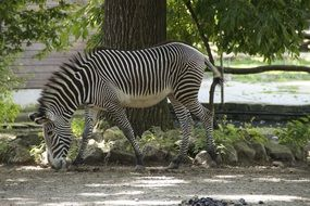 zebra in a zoo stall