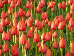 tulips on green stems