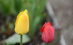 yellow and red tulip spring nature flowers