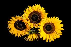 sunflower blossoms on a black background